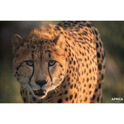 Une belle histoire du Parc Safari: Deux guépards dans leur milieu naturel en Afrique